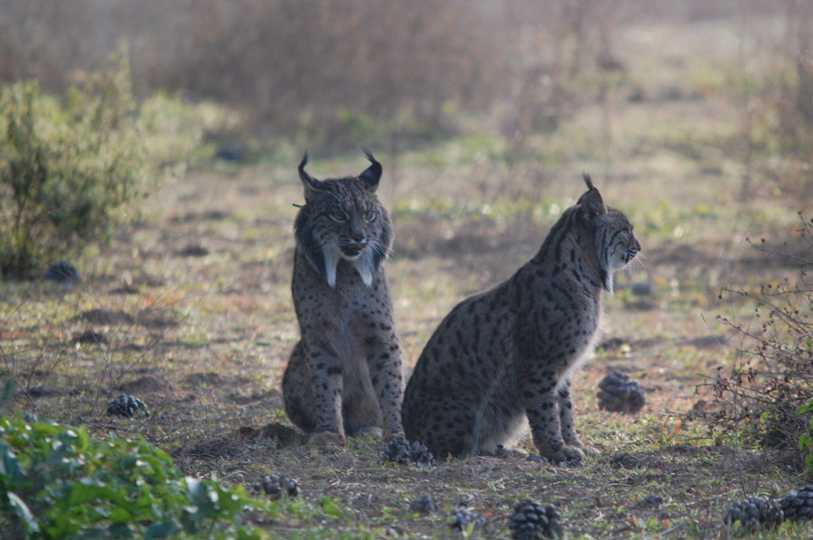 Spain Wildlife Holidays: Iberian Lynx Quest | The Travelling