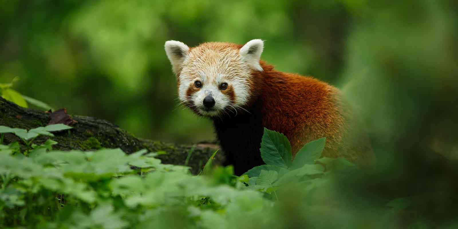 Red panda in China
