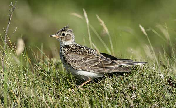 Skylark on the grass in the Outer Hebrides