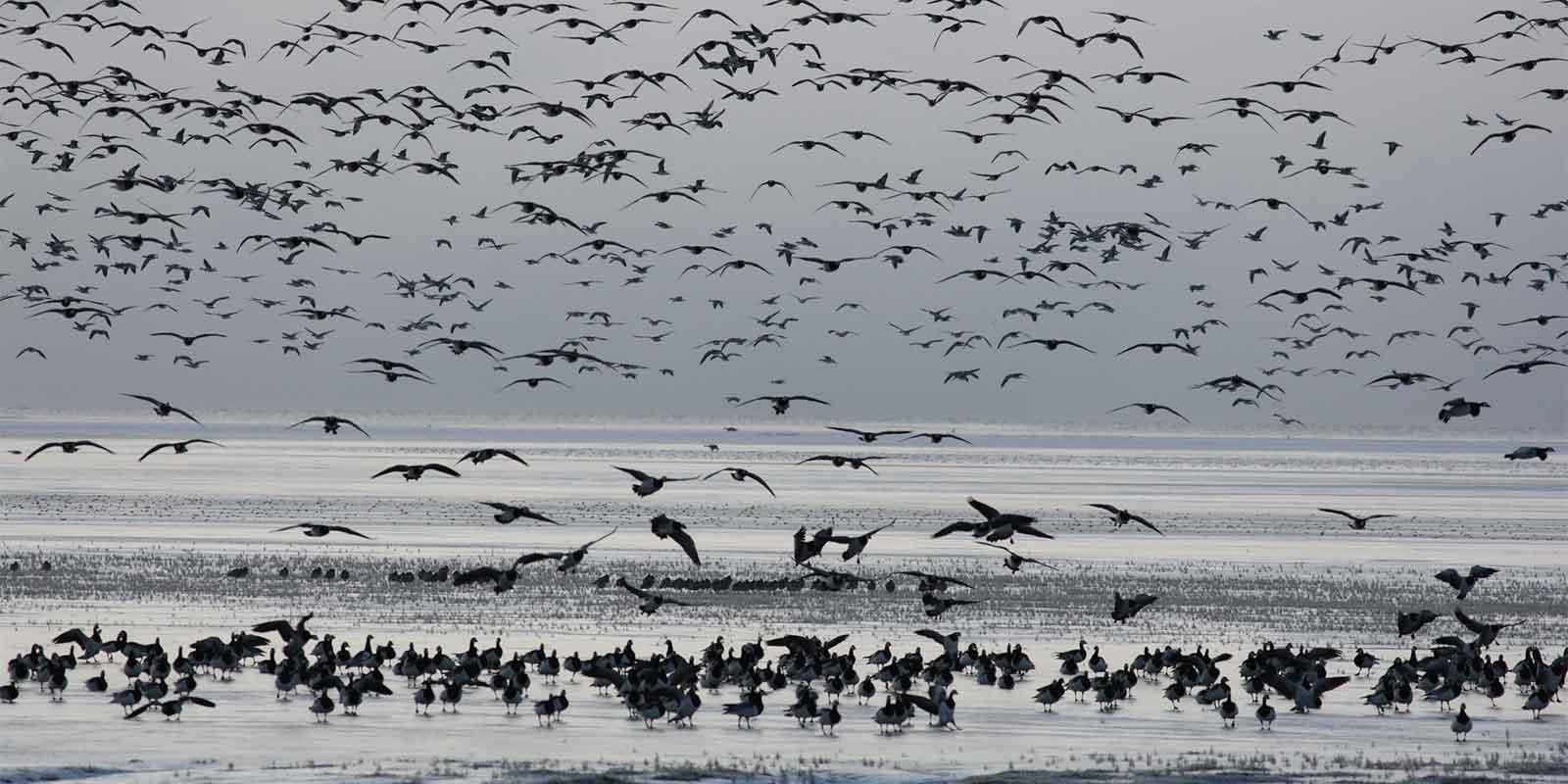 Flock of barnacle geese in flight on Islay Island, Western Isles, Scotland