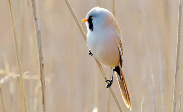 Bearded tit